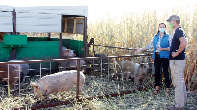 A waist-high fence attached to a livestock building contains several pigs. Beside it, Theresa and Zack talk, both wearing masks. Behind them are golden stalks of corn, taller than Theresa and Zack.